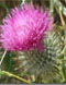 The Thistle, The Emblem of Scotland a 'Prickly Tale'